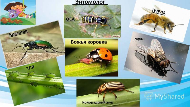 Энтомолог_ Красотел ОСА ПЧЕЛА ТЛЯ Божья коровка муха Колорадский жук