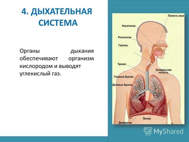 4. ДЫХАТЕЛЬНАЯ СИСТЕМА Органы дыхания обеспечивают организм кислородом и выводят углекислый газ.