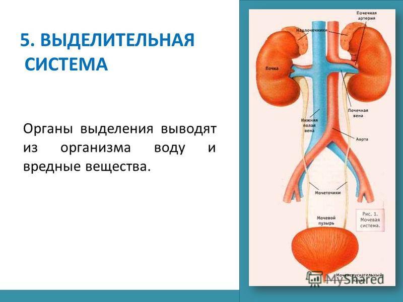 5. ВЫДЕЛИТЕЛЬНАЯ СИСТЕМА Органы выделения выводят из организма воду и вредные вещества.