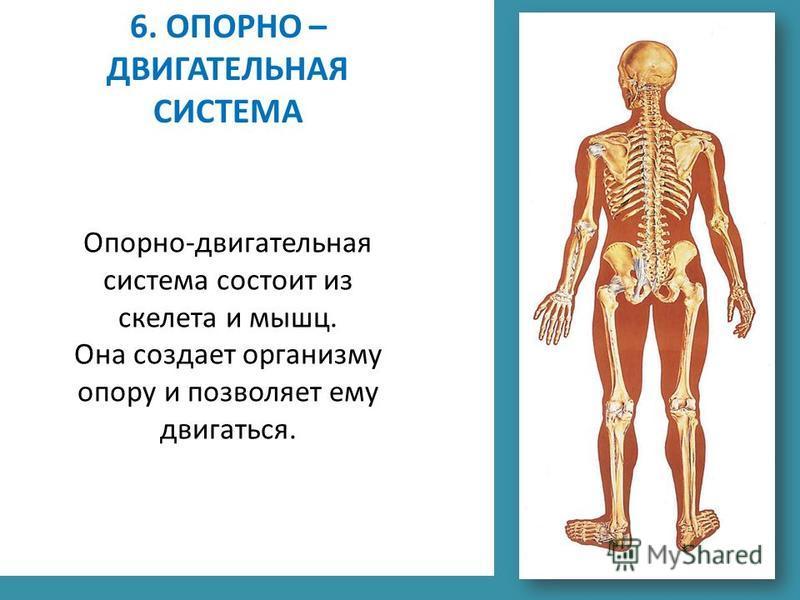 6. ОПОРНО – ДВИГАТЕЛЬНАЯ СИСТЕМА Опорно-двигательная система состоит из скелета и мышц. Она создает организму опору и позволяет ему двигаться.