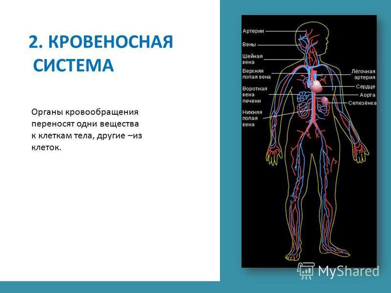 2. КРОВЕНОСНАЯ СИСТЕМА Органы кровообращения переносят одни вещества к клеткам тела, другие –из клеток.