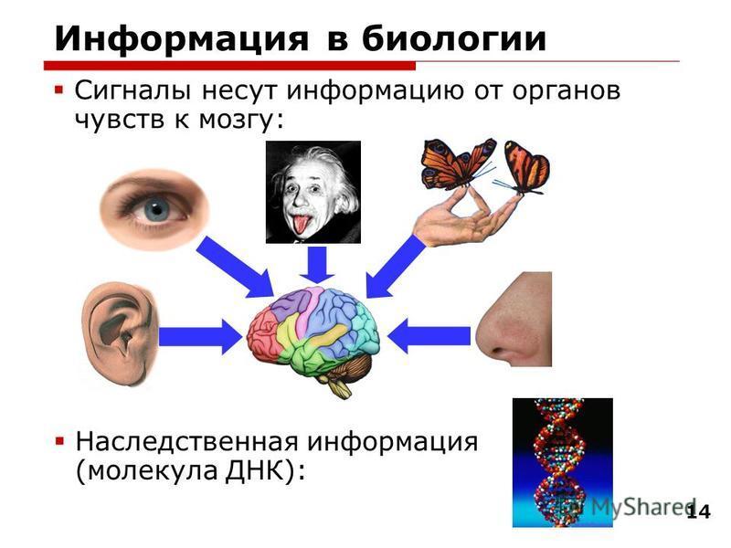 14 Информация в биологии Сигналы несут информацию от органов чувств к мозгу: Наследственная информация (молекула ДНК):