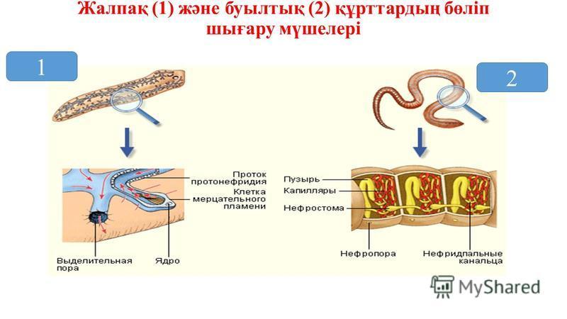Жалпақ (1) және буылтық (2) құрттардың бөліп шығару мүшелері 1 2