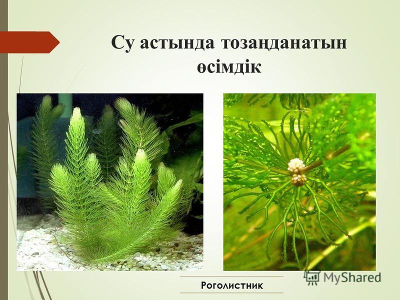 Су астында тозаңданатын өсімдік Роголистник
