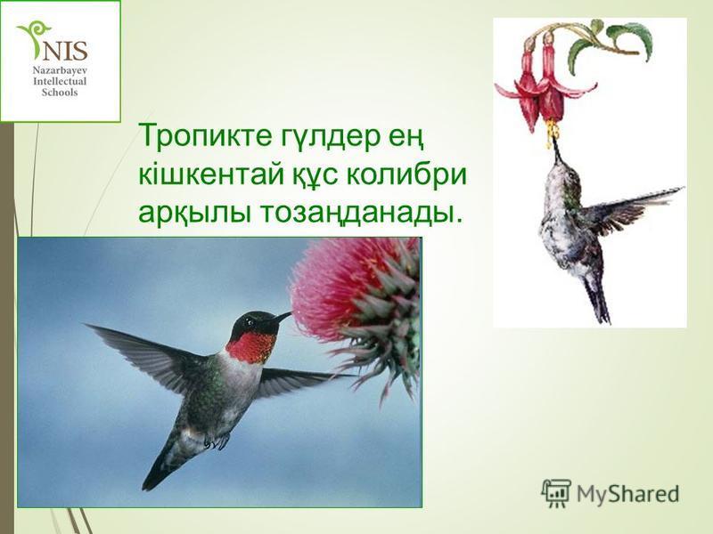 Тропикте гүлдер ең кішкентай құс колибри арқылы тозаңданады.