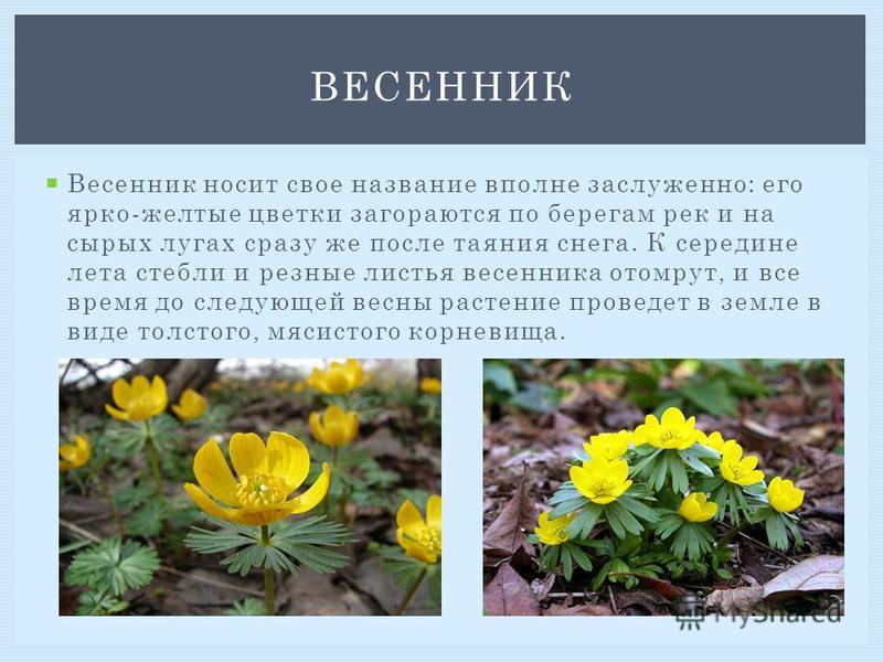Весенник носит свое название вполне заслуженно: его ярко-желтые цветки загораются по берегам рек и на сырых лугах сразу же после таяния снега. К середине лета стебли и резные листья весенника отомрут, и все время до следующей весны растение проведет
