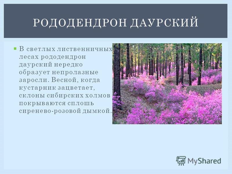 В светлых лиственничных лесах рододендрон даурский нередко образует непролазные заросли. Весной, когда кустарник зацветает, склоны сибирских холмов покрываются сплошь сиренево-розовой дымкой. РОДОДЕНДРОН ДАУРСКИЙ