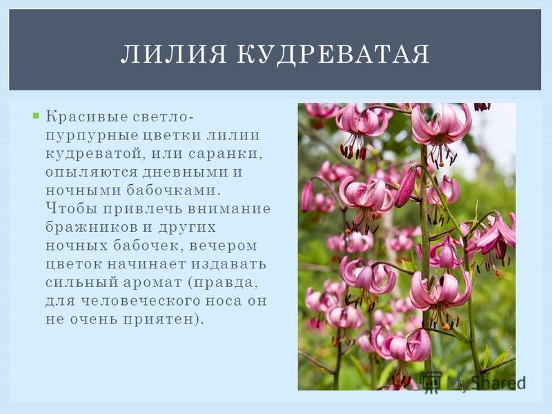 Красивые светло- пурпурные цветки лилии кудреватой, или саранки, опыляются дневными и ночными бабочками. Чтобы привлечь внимание бражников и других ночных бабочек, вечером цветок начинает издавать сильный аромат (правда, для человеческого носа он не