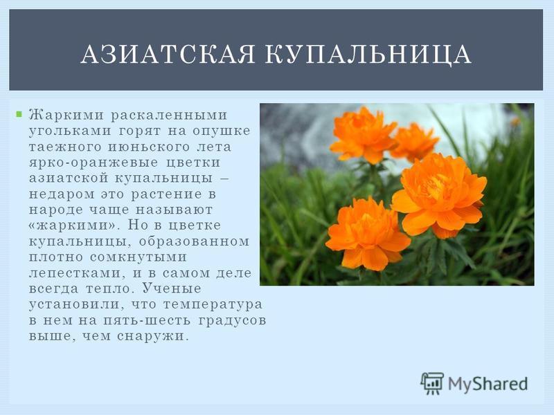 Жаркими раскаленными угольками горят на опушке таежного июньского лета ярко-оранжевые цветки азиатской купальницы – недаром это растение в народе чаще называют «жаркими». Но в цветке купальницы, образованном плотно сомкнутыми лепестками, и в самом де