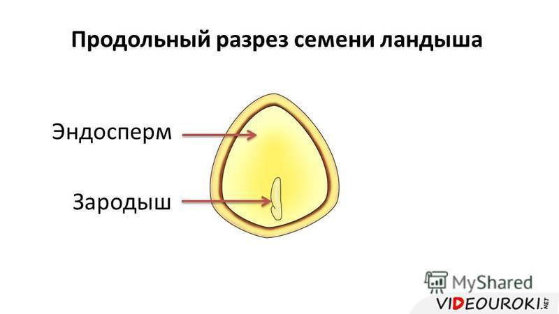 Эндосперм Продольный разрез семени ландыша