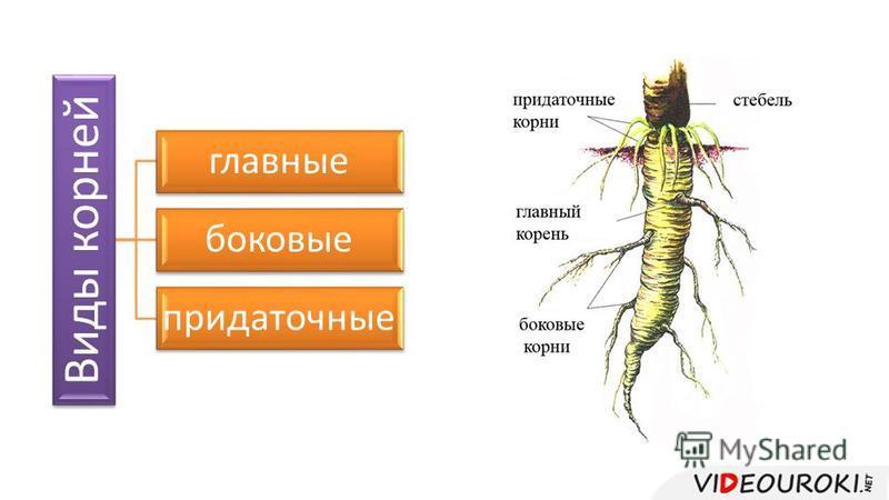 Виды корней главные боковые придаточные