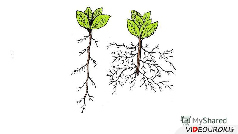 1 2 3 4 5 1 – корневой чехлик 2 – зона деления 3 – зона растяжения 4 – зона всасывания с корневыми волосками 5 – зона проведения