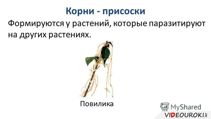 Корни - присоски Формируются у растений, которые паразитируют на других растениях. Повилика