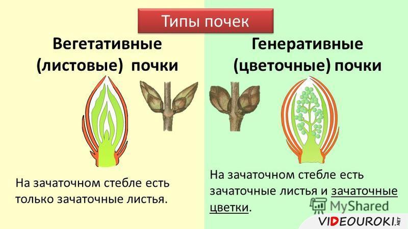 Вегетативные (листовые) почки Генеративные (цветочные) почки Типы почек На зачаточном стебле есть только зачаточные листья. На зачаточном стебле есть зачаточные листья и зачаточные цветки.