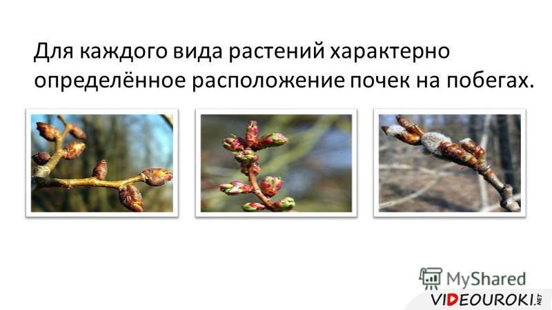 Для каждого вида растений характерно определённое расположение почек на побегах.