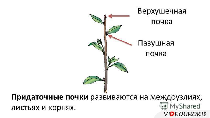 Верхушечная почка Пазушная почка Придаточные почки развиваются на междоузлиях, листьях и корнях.