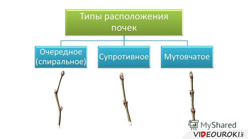Типы расположения почек Очередное (спиральное) Супротивное Мутовчатое