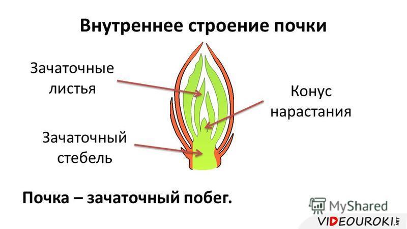 Внутреннее строение почки Зачаточный стебель Конус нарастания Зачаточные листья Почка – зачаточный побег.