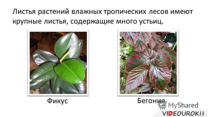 Листья растений влажных тропических лесов имеют крупные листья, содержащие много устьиц. Фикус Бегония