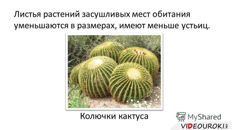 Листья растений засушливых мест обитания уменьшаются в размерах, имеют меньше устьиц. Колючки кактуса