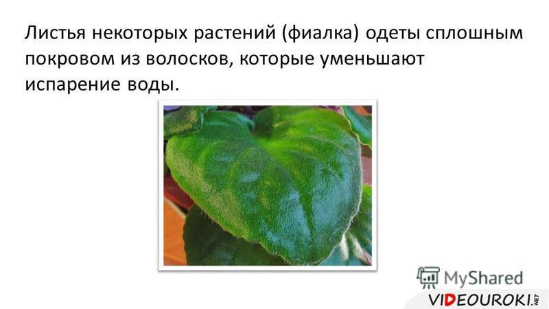 Листья некоторых растений (фиалка) одеты сплошным покровом из волосков, которые уменьшают испарение воды.