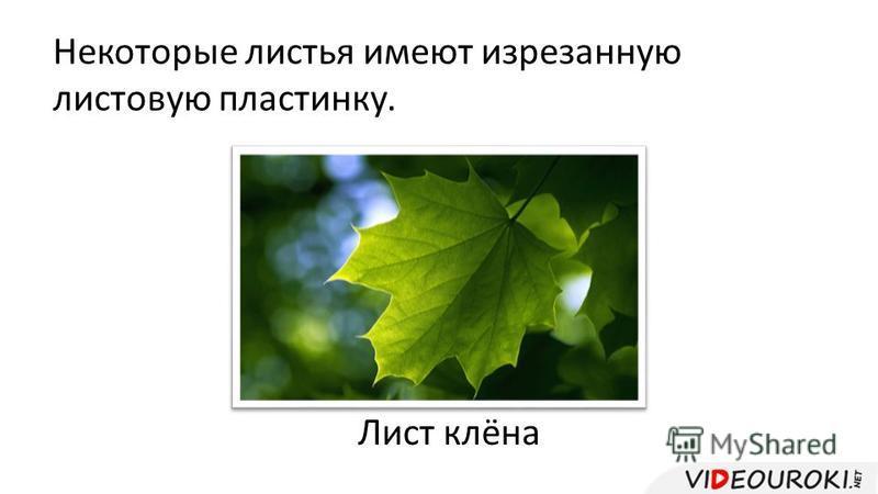 Некоторые листья имеют изрезанную листовую пластинку. Лист клёна