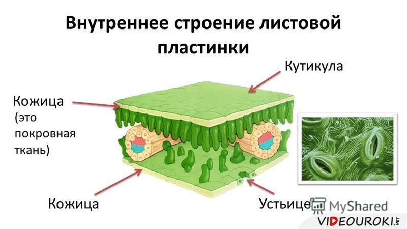 Внутреннее строение листовой пластинки Кожица Устьице Кутикула (это покровная ткань)