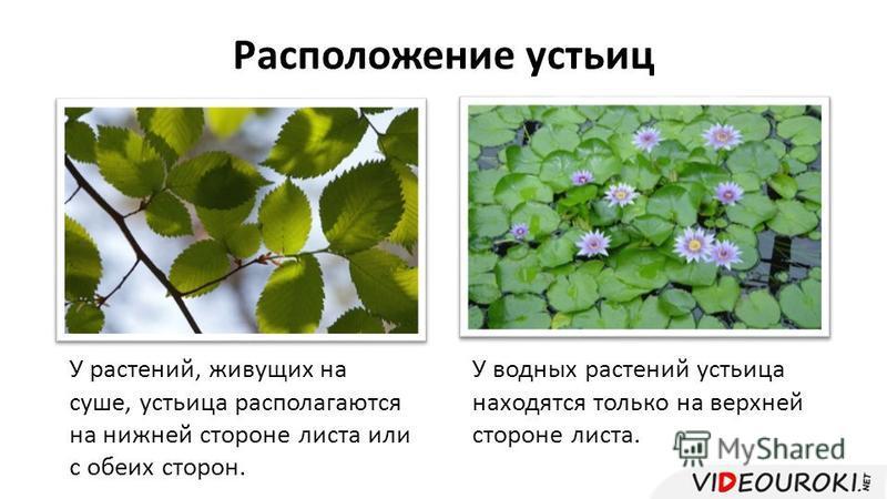 Расположение устьиц У растений, живущих на суше, устьица располагаются на нижней стороне листа или с обеих сторон. У водных растений устьица находятся только на верхней стороне листа.