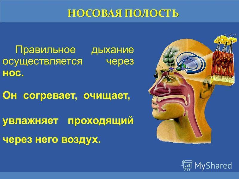 НОСОВАЯ ПОЛОСТЬ Правильное дыхание осуществляется через нос. Он согревает, очищает, увлажняет проходящий через него воздух.