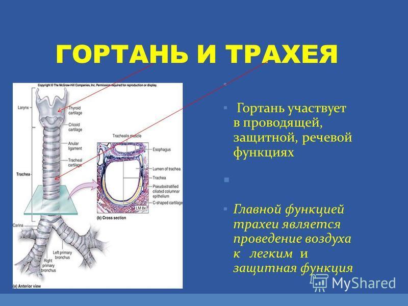 ГОРТАНЬ И ТРАХЕЯ Гортань участвует в проводящей, защитной, речевой функциях Главной функцией трахеи является проведение воздуха к легким и защитная функция