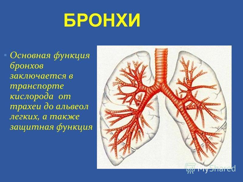 Основная функция бронхов заключается в транспорте кислорода от трахеи до альвеол легких, а также защитная функция БРОНХИ