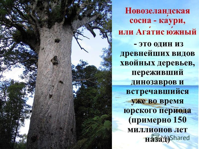 Новозеландская сосна - ка́умри, или Ага́тис ю́жный - это один из древнейших видов хвойных деревьев, переживший динозавров и встречавшийся уже во время юрского периода (примерно 150 миллионов лет назад)