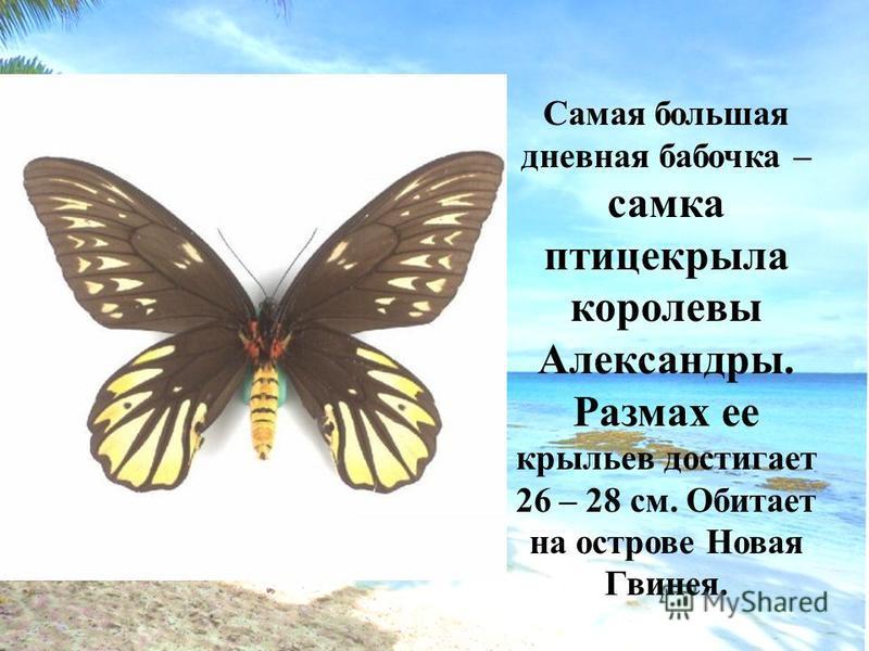 Самая большая дневная бабочка – самка птицекрыла королевы Александры. Размах ее крыльев достигает 26 – 28 см. Обитает на острове Новая Гвинея.