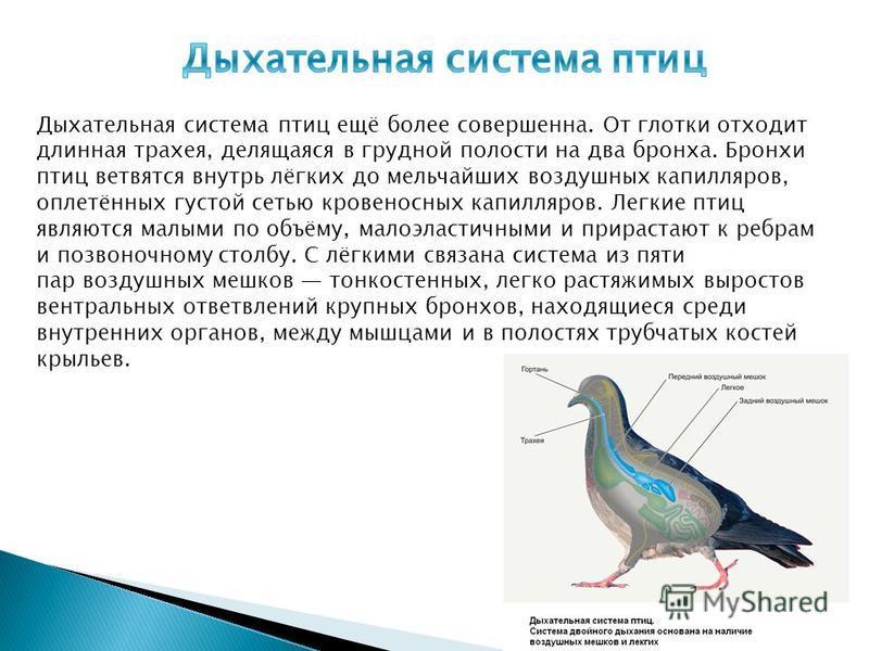 Дыхательная система птиц ещё более совершенна. От глотки отходит длинная трахея, делящаяся в грудной полости на два бронха. Бронхи птиц ветвятся внутрь лёгких до мельчайших воздушных капилляров, оплетённых густой сетью кровеносных капилляров. Легкие