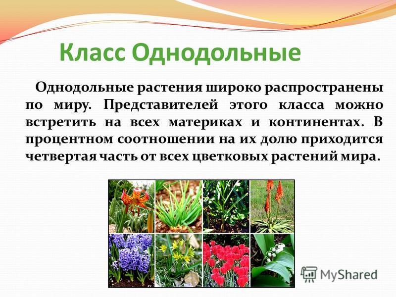Класс Однодольные Однодольные растения широко распространены по миру. Представителей этого класса можно встретить на всех материках и континентах. В процентном соотношении на их долю приходится четвертая часть от всех цветковых растений мира.