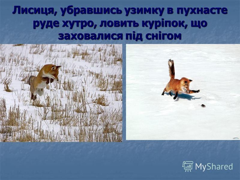 Лисиця, убравшись узимку в пухнасте руде хутро, ловить куріпок, що заховалися під снігом