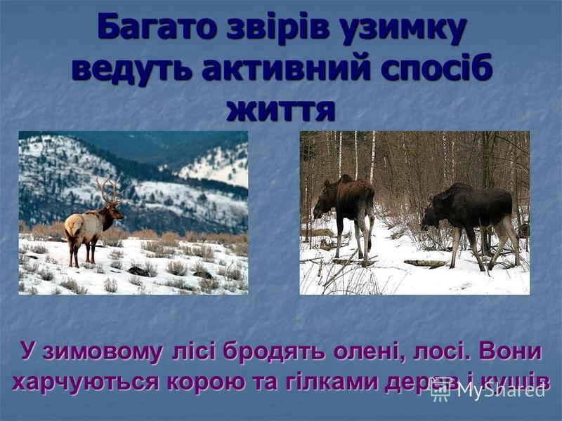 Багато звірів узимку ведуть активний спосіб життя У зимовому лісі бродять олені, лосі. Вони харчуються корою та гілками дерев і кущів