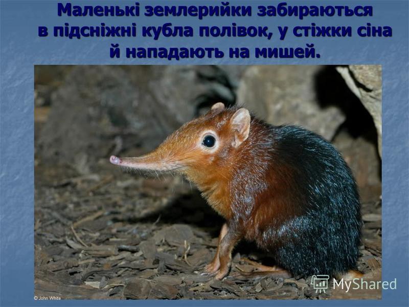 Маленькі землерийки забираються в підсніжні кубла полівок, у стіжки сіна й нападають на мишей.