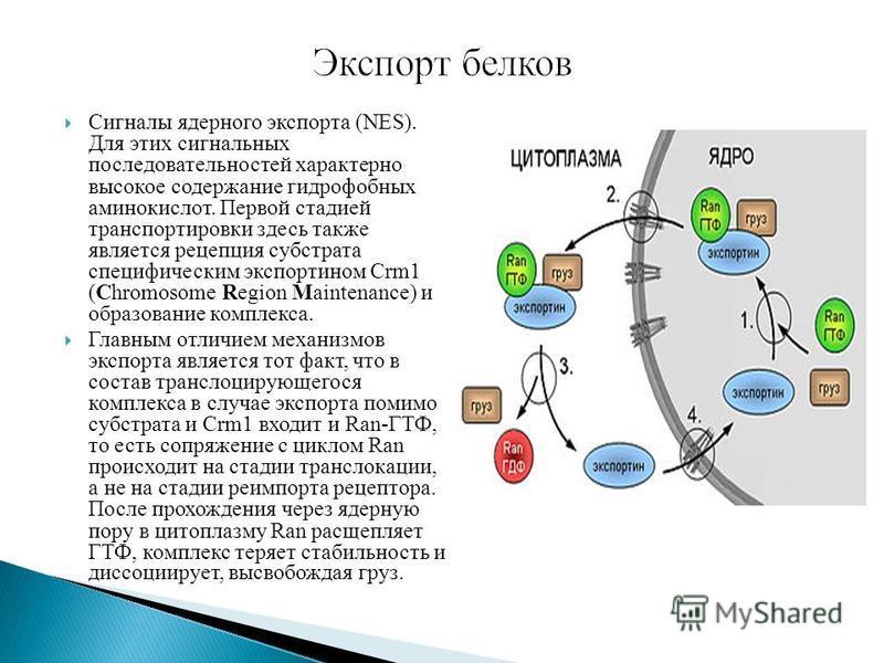 Cигналы ядерного экспорта (NES). Для этих сигнальных последовательностей характерно высокое содержание гидрофобных аминокислот. Первой стадией транспортировки здесь также является рецепция субстрата специфическим экспортином Crm1 (Chromosome Region M