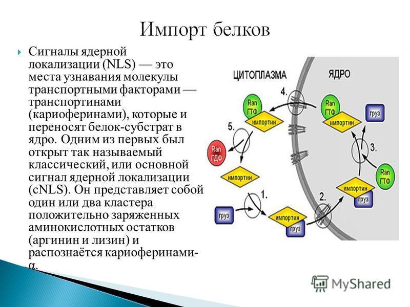 Сигналы ядерной локализации (NLS) это места узнавания молекулы транспортными факторами транспорт нами (кариоферинами), которые и переносят белок-субстрат в ядро. Одним из первых был открыт так называемый классический, или основной сигнал ядерной лока