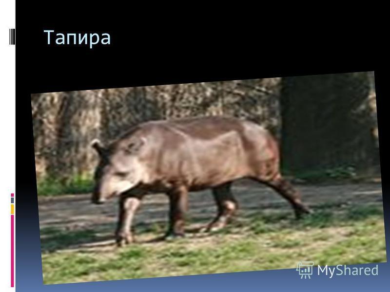Тапира
