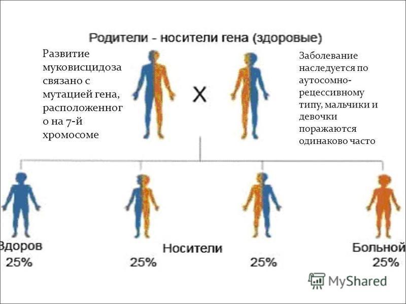 Развитие муковисцидоза связано с мутацией гена, расположенного на 7-й хромосоме Заболевание наследуется по аутосомно- рецессивному типу, мальчики и девочки поражаются одинаково часто