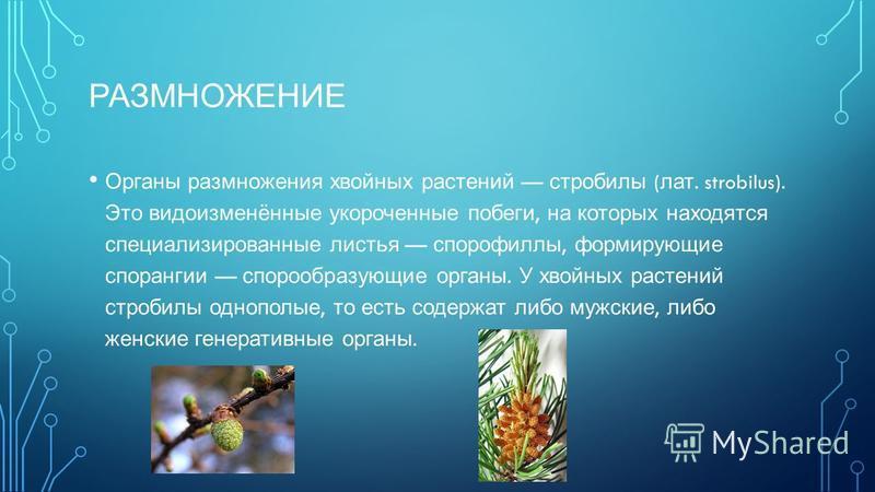 РАЗМНОЖЕНИЕ Органы размножения хвойных растений стробилы ( лат. strobilus). Это видоизменённые укороченные побеги, на которых находятся специализированные листья спорофиллы, формирующие спорангии спорообразующие органы. У хвойных растений стробилы од
