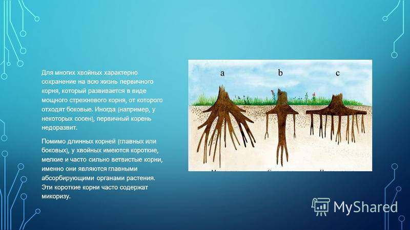 Для многих хвойных характерно сохранение на всю жизнь первичного корня, который развивается в виде мощного стрежневого корня, от которого отходят боковые. Иногда ( например, у некоторых сосен ), первичный корень недоразвит. Помимо длинных корней ( гл