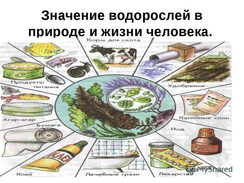 Размножение водорослей Водоросли размножаются бесполым путём(почкованием или спорами) и половым путём.