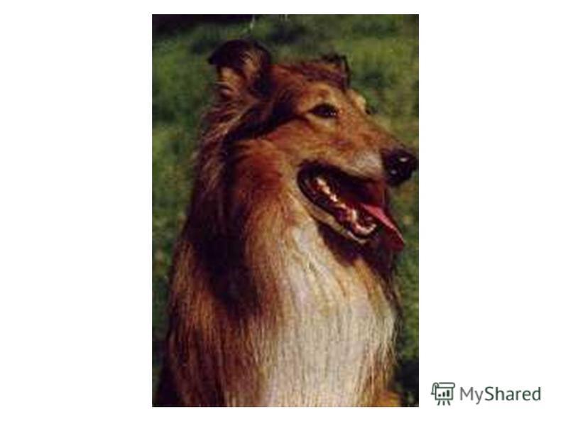 Шотландская овчарка (колли) Выведена в Шотландии. Сильная, подвижная, красивая собака, с очень густой и длинной шерстью. Окрас черно-пегий, рыже-пегий, голубой, мраморно-пегий. Рост 62-68 см. Умная, поддающаяся разнообразной дрессировке. Собака облад