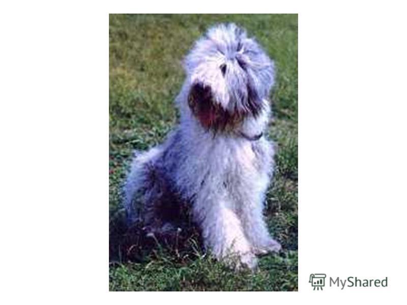 Бобтейл Бобтейла еще называют Старо- английской овчаркой. Выведена в Англии. Собака пропорционального сложения с довольно мощным костяком, покрыта обильной шерстью. Окрас серо-бело-голубой. Рост 53-58 см. Легко управляемая, с острым чутьем.