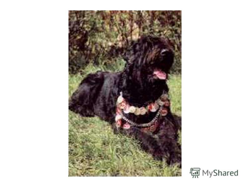 Черный терьер Порода выведена в школе служебного собаководства