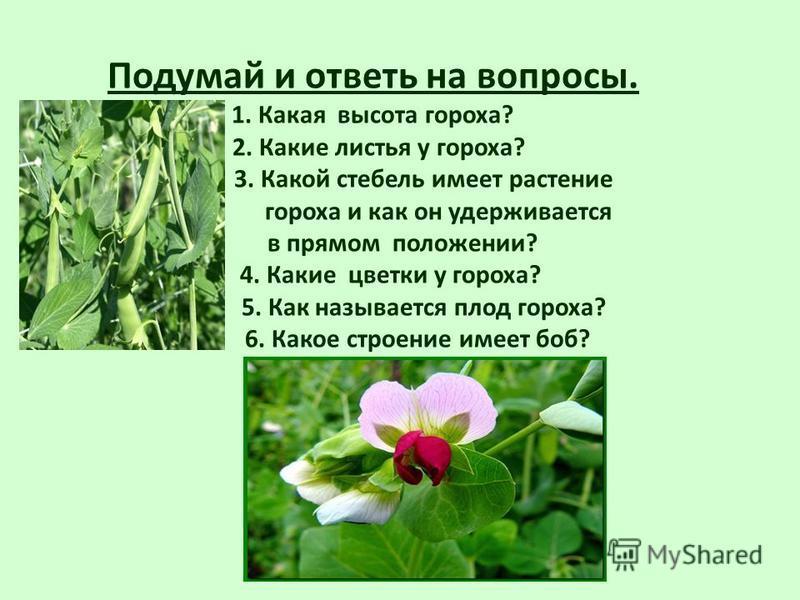 Подумай и ответь на вопросы. 1. Какая высота гороха? 2. Какие листья у гороха? 3. Какой стебель имеет растение гороха и как он удерживается в прямом положении? 4. Какие цветки у гороха? 5. Как называется плод гороха? 6. Какое строение имеет боб?