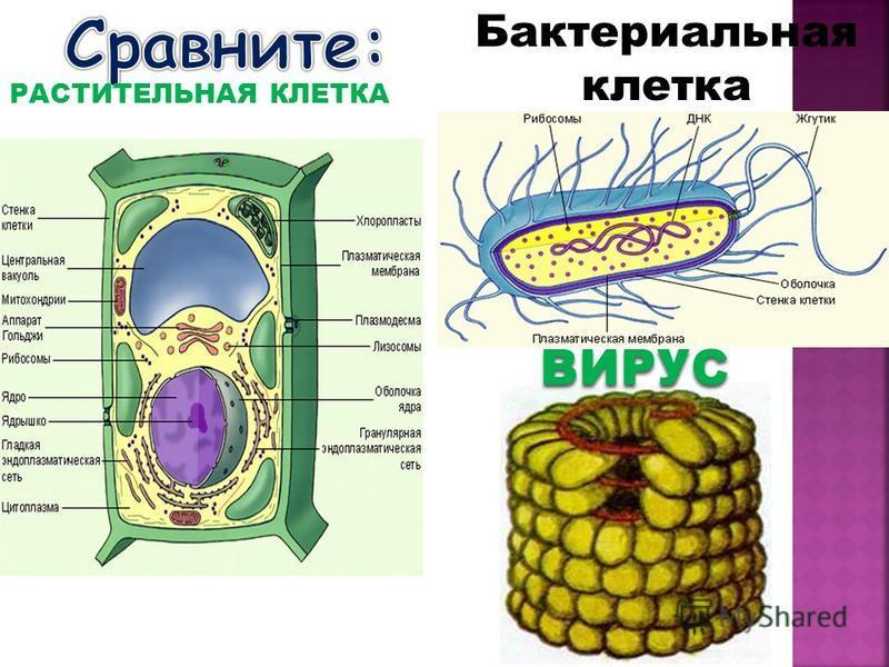 Бактериальная клеткаВИРУС РАСТИТЕЛЬНАЯ КЛЕТКА